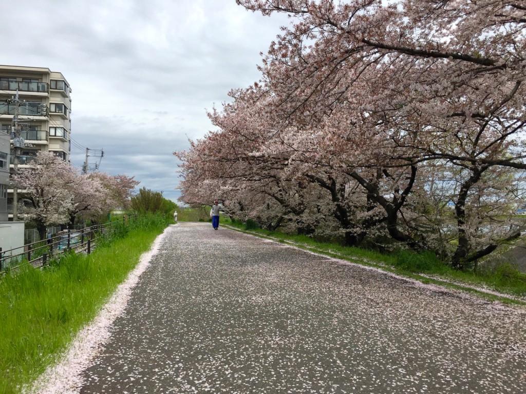 二ヶ領せせらぎ館付近の桜並木