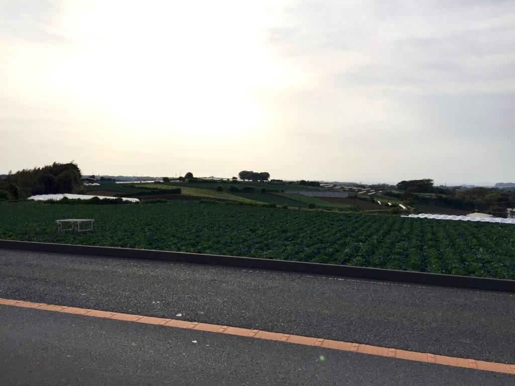 西日射すキャベツ畑